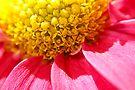 Macro - Daisy by Debbie Pinard