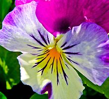 Pansy  by Caryl Perry