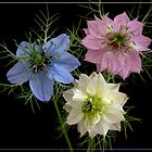 Nigella Trio by J-images