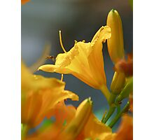 Tiny Bee and Stella de Oro Photographic Print