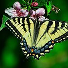 Swallowtail by Gaby Swanson  Photography