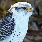 Peregrine Falcon III by vivsworld
