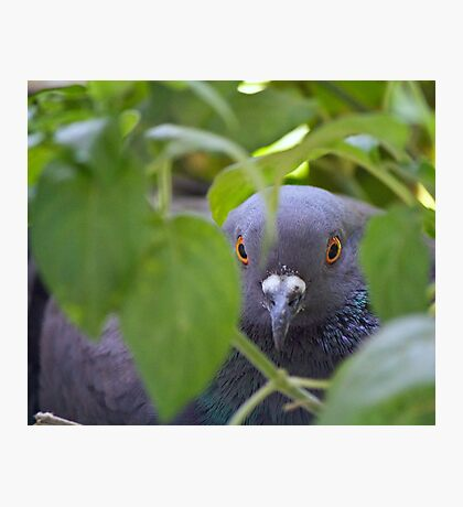 The ever watchful eyes of a Pigeon incubating her eggs. Photographic Print