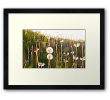 dandelion clocks Framed Print