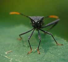 Stink Bug by Lin Taylor