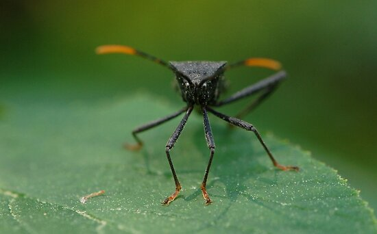 Stink Bug by BiggerPicture