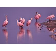 Roseate Spoonbills, As Is Photographic Print