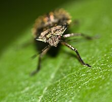 Shieldbug by Michael Upshon