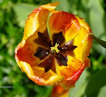 Tulip drops by DavesPhoto