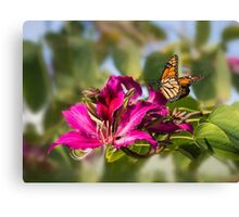 First monarch of 2015! Canvas Print