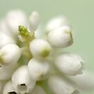 Muscari ~ White Grape   by JUSTART