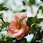 Roses.. by Sybleann