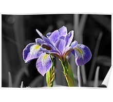 2 Iris Blooms on Grey. Poster