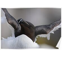 Razorbill, Saltee Islands, County Wexford, Ireland Poster