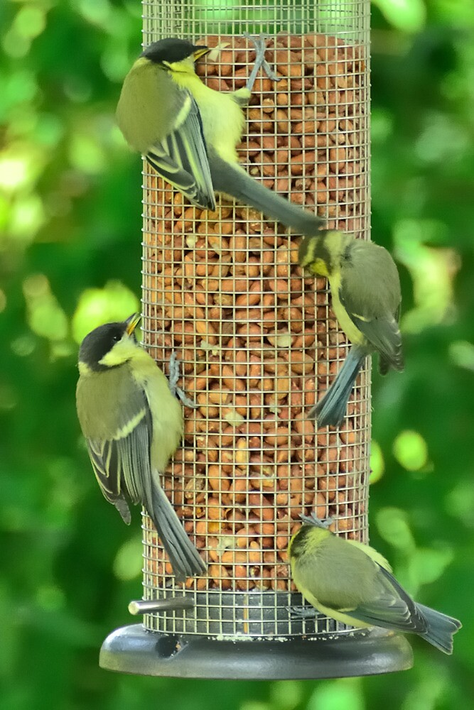 greenfinches going nuts by Stephen Frost