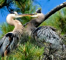 Great Blue Heron Sister Love? by Joe Jennelle