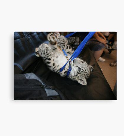 Tiger tough of war Canvas Print
