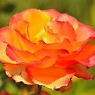 a rose for you as a gift by Steve