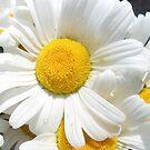 White daisy by MONIGABI