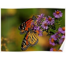 Monarchs on New England Aster   Poster