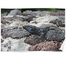 black and blue lizard in tenerife Poster