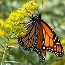 Monarch on flowers by skyoncloud9