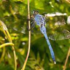 Tarzan the...err...Dragonfly?! by Briar Richard