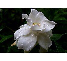 Delicate and Fragrant Gardenia Photographic Print