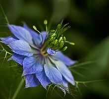 Love-in-a-mist by Celeste Mookherjee