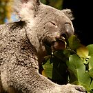 Koala & Eucalypt by Sarah Howarth [ Photography ]