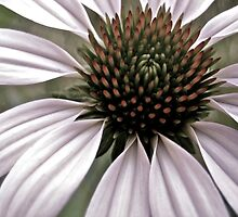 Purple Coneflower by lindsycarranza