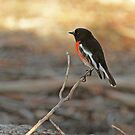Adult Scarlet Robin by Robert Abraham