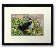 Puffin, Saltee Island, County Wexford, Ireland Framed Print