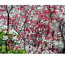 Red and White Flowers Photographic Print