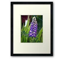 Lupin Framed Print