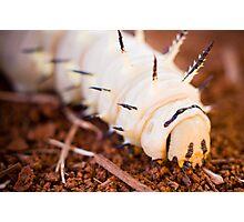 African Caterpillar Photographic Print