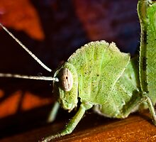 African Grasshopper by Tim Cowley