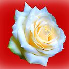 White Rose. by JacquiK