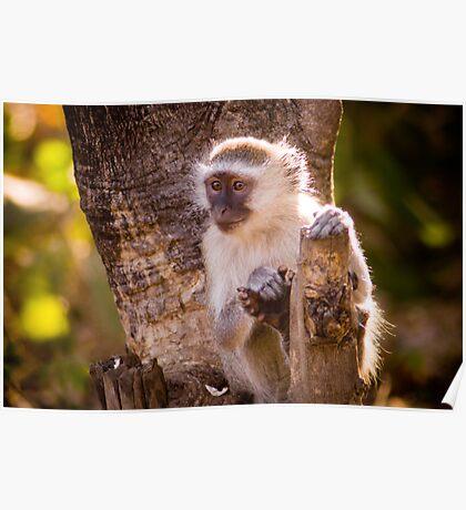 Malawian Monkey Poster