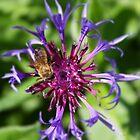 Honey bee on purple flower by kipstar