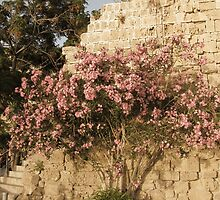 Oleander in Kyrenia. by rasim1
