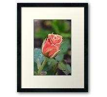 Rosebud 04 Framed Print