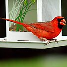 CARDINAL ON FEEDER by FSULADY