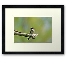 Eastern Phoebe (Sayornis phoebe) Framed Print