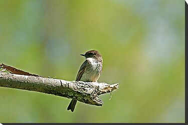 Eastern Phoebe (Sayornis phoebe) by Mike Oxley