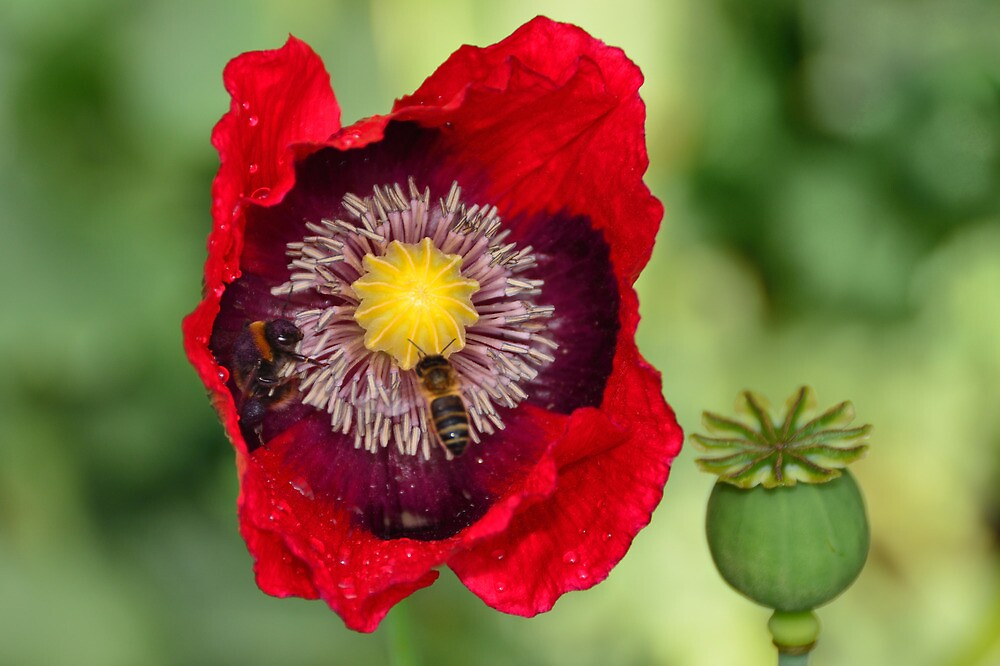 bee and wasp in ladybird poppy get together by Stephen Frost