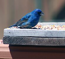Male Indigo Bunting by kkphoto1