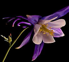 PURPLE AQUILEGIA... by RoseMarie747
