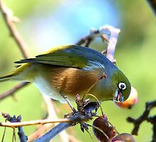 YUK!! This Berry Tastes Off!! - Silvereye - Gore NZ by AndreaEL