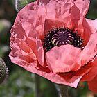 Pink poppy by Jeanne Horak-Druiff